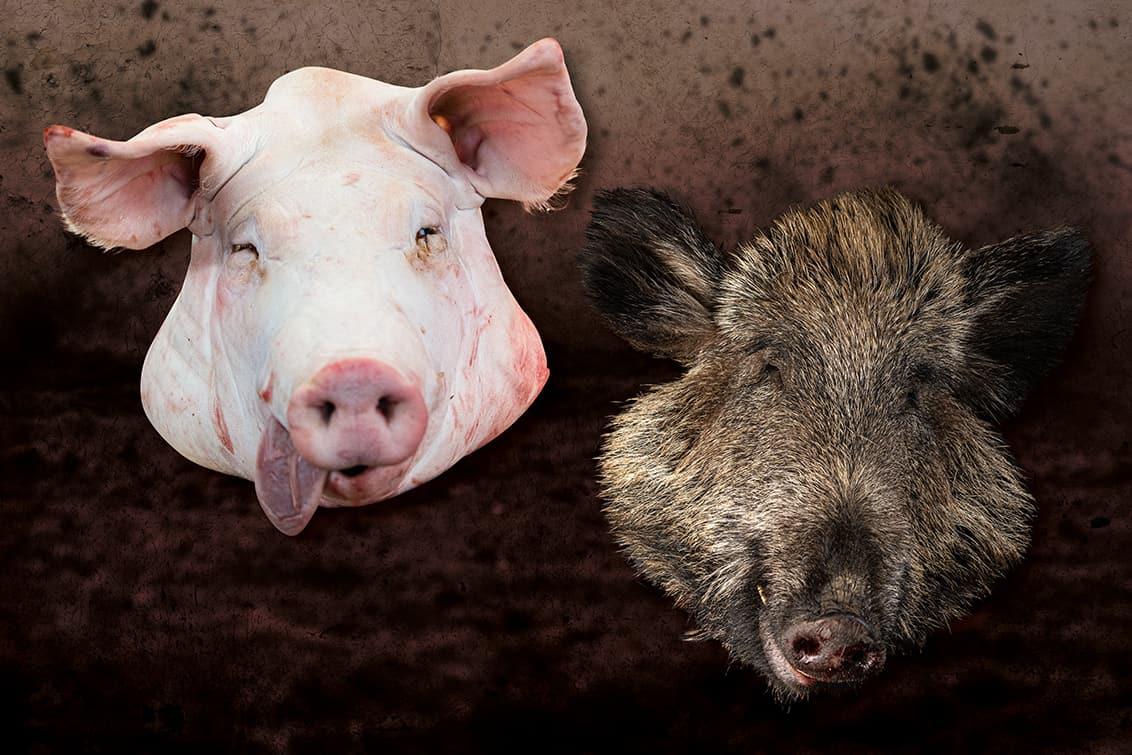 rp246-fb-mueller-schwein-aufmacher